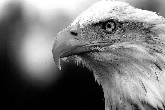 """Bald Eagle Black and White"" Posters by mrshutterbug ..."