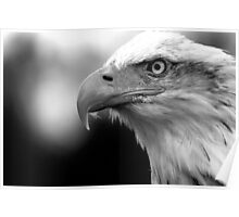 Bald Eagle Black and White Poster