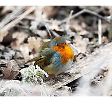 Frosty Robin Photographic Print