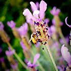 bee dancing on lavender by tienpa