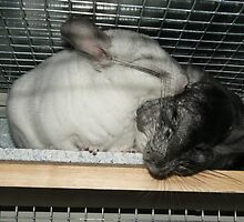 Chinchilla Cuddle by Claire Tennant