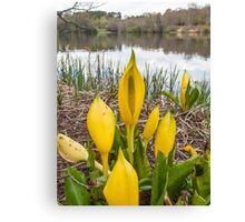 Yellow Skunk Cabbage Flower Canvas Print