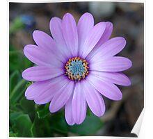 Purple Flower - Stockley Gardens Park Poster