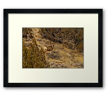 Mature Buck Framed Print