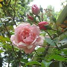 """Albertine"" Climbing Rose by Pat Yager"
