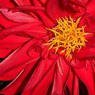 Red Dahlia by Lolabud