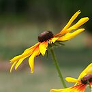 Black Eyed Susan by Lolabud