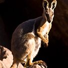 Yellow footed Rock Wallaby   by Neville Jones