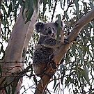 Koala by Adah