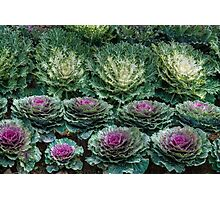 Cabbage Patch Photographic Print