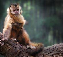 Scratching Capuchin by DanielTMiller