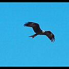 Wedge tailed eagle. by Matt kelly.