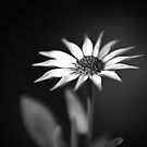Daisy by johnwheat