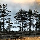 6.6.2015: Pine Trees, Summer Morning by Petri Volanen