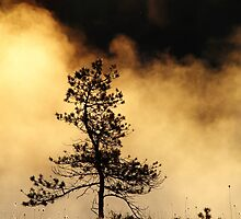 6.6.2015: Pine Tree in Morning Mist by Petri Volanen