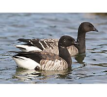 Two Brant Geese Photographic Print