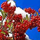 Christmas Berries by David DeWitt