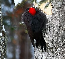 """ Pileated Woodpecker ""  alias "" Jackhammer "" by fortner"