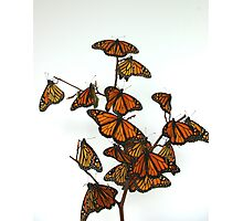 Full Monarch Butterfly Tree Photographic Print