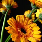 yellow gerbera by Jane Turnbull