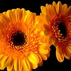 gerbera close up by Jane Turnbull