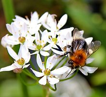 "Bee on White Allium ""Graceful"" by AnnDixon"