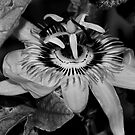 B&W Passion Flower by evilcat