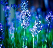 Lavender Blue by StuartStevenson