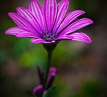 shasta daisy by KathleenRinker