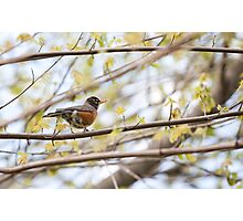 Robin in Spring Photographic Print