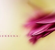 Gerbera by StuartStevenson