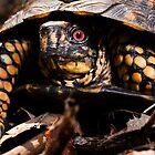 Box Turtle, Virginia by Steven David Johnson