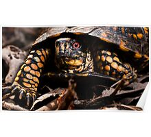 Box Turtle, Virginia Poster