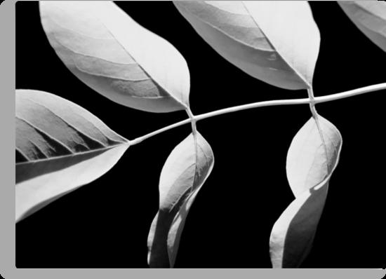 Acacia in Black & White by Kitsmumma