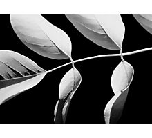 Acacia in Black & White Photographic Print