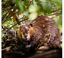 Beaver, Tomahawk Pond, Virginia Photographic Print