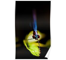 Damselfly, Cootes Store, Virginia Poster