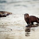 Mink, Shenandoah River, North Fork, Coote Store, Virginia by Steven David Johnson