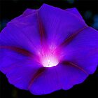 Glowing violet morning glory by rvjames