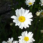Shasta Daisies blooming in Oregon by pocopeppygator