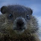 Baby Woodchuck by Lee-Anne Carver