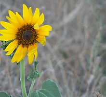 Golden Sunflower by Virginia McGowan