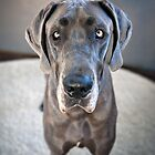 Lupe the Great Dane by Charlotte Reeves