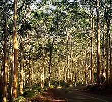 Boranup forest, Margaret River by nadine henley