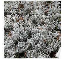 'Lichen in Acadia' Poster