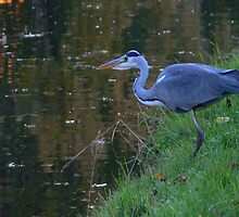 Heron on the Hunt by Carol Dawes