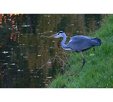 Heron on the Hunt Photographic Print