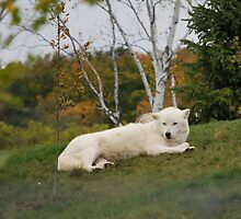 The Arctic Wolf by deb cole