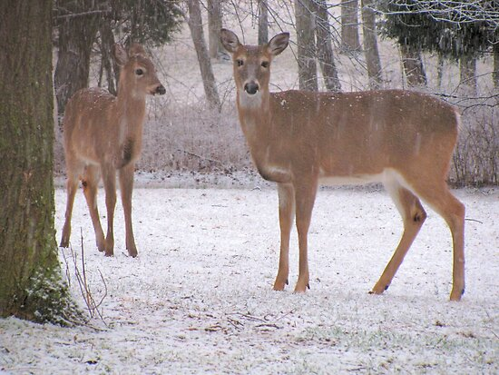 Deer In The Snow by Ginny York