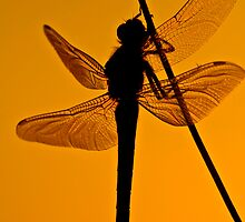 Dragonfly in sunset by Gabor Pozsgai